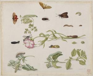 Bolderik, schermbloem: selderie? en grote brandnetel met metamorfoses van vlinders