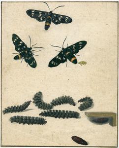 Metamorphose van de Phegeavlinder