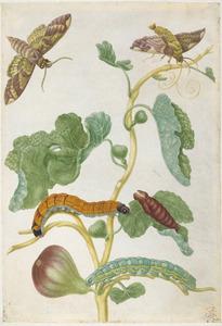 Tak van vijgenboom met vijgepijlstaartvlinder en rups en sycespijlstaart