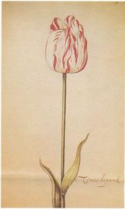 Tulp (Witte laprock)