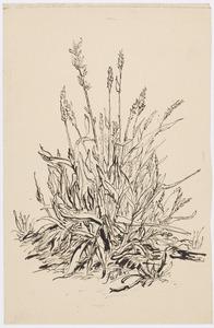 Koren en grassoorten