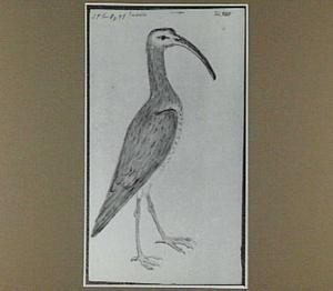 Macoára (Braziliaanse vogel)