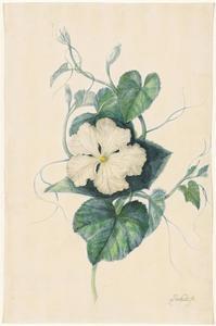Een wit-bloemige kalebas (Lagenaria siceraria)