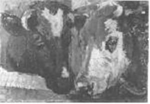 Koeienkoppen