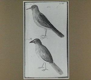 Sabia-mannetje en -wijfje (Braziliaanse vogel)