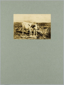 Koeien aan de plas
