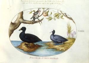 Meerkoet, vinkachtige en watervogel