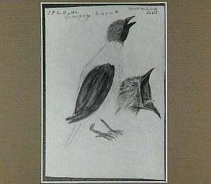 Quiraponga of Araponga (Braziliaanse vogel)