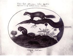 Eekhoorn, mol, marter en krop sla