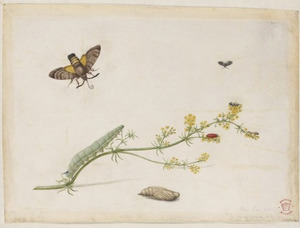 Geel walstro met metamorfose van de onrustvlinder