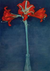 Red amaryllis with blue background