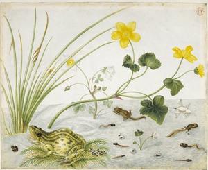 Dotterbloem en grote waterranonkel met metamorfose van de groene kikker