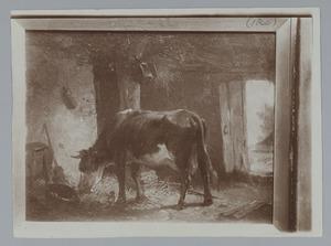 Etende koe in een stal