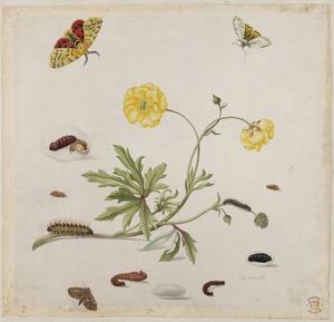 Scherpe boterbloem met metamorfose van drie vlinders, waaronder de grote beer