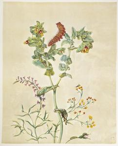 Marokaanse leeuwebek, grote wasbloem, strobloem, franse roos, bladwesp en rups