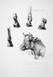 studie van paardebenen  en een ossekop
