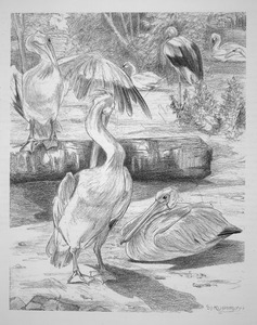 Pelikanenvijver in Artis
