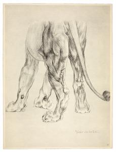 Anatomie van de leeuw: achterkant van de poten