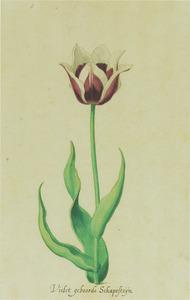 Tulp 'Vÿseroi'