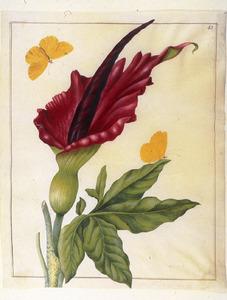 Drakenwortel