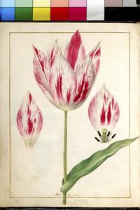 Drie studies van een tulp en zijn bladeren