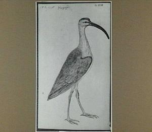 Magagui (Braziliaanse vogel)