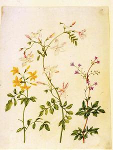 Gele jasmijn, grote jasmijn en pistache soort