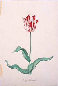 Tulp 'Vroege blÿen búrger van goÿer'