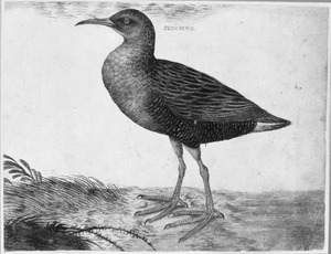 Watervogel