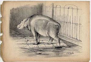 Het nijpaardje Hermand jr. klimt uit zijn bassin