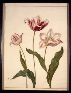 Twee Perzische- en een spitse tulp kruising