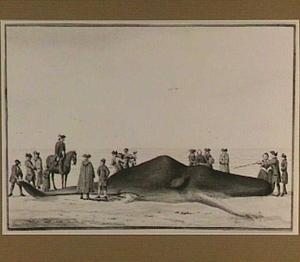 Potvis aangespoeld tussen Zandvoort en Wijk aan Zee, van voren gezien (20 febr. 1762)