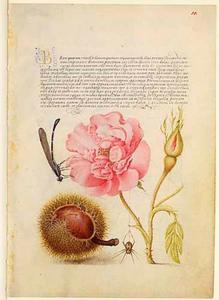 Franse roos, kastanje, libel en spin
