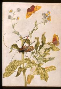 Stinkende Strobloem met harlekijnkever en twee oranjegele sennavlinders