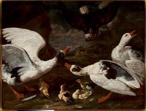 Roofvogel valt eenden met kuikens aan