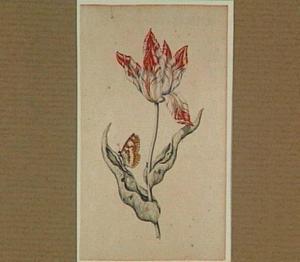 Tulp met een vlinder en mieren