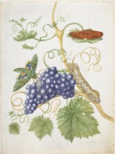 Wijnrank met blauwe druiven en metamorfose van de groene pijlstaart