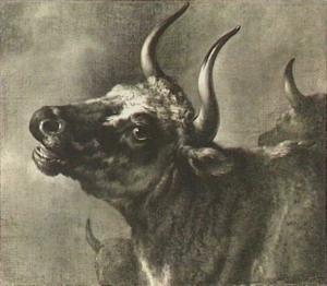 Kop van een stier