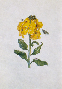 Muurbloem, herfstpapegaaitje en parasietvlieg