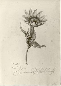 Studie van tuinanemoon 'Anemone Purper carmosij'