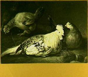 Haan met drie kippen
