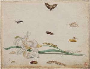 Florentijnse lis met diverse metamorfoses