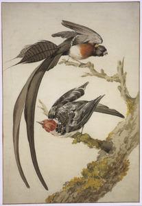 Smalstaartparadijswida en Zwartkeelkardinaal