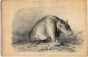 Het nijlpaardje Herman jr. in zittende houding