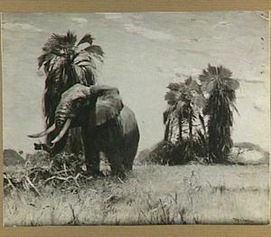 Afrikaanse olifant bij Palmyra-palmen