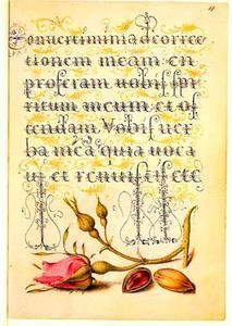 Franse roos en pistachenoot