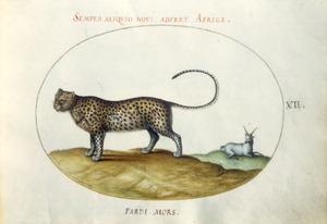 Jachtluipaard en antilopeachtige