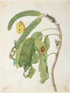 Zoete boontjes met metamorfose van het reuzengeeltje, surita wespenmot, kameniervlinder rups en anthomyia vlieg