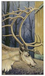 Rendier-bok (winterkleed)