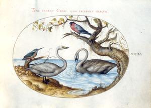 Twee zwanen, een ijsvogel en een vinkachtige, mogelijk een goudvink